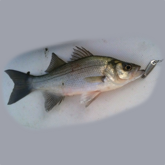 Tawakonistriperguide 66 tawakoni striper guide for Lake tawakoni fishing guides